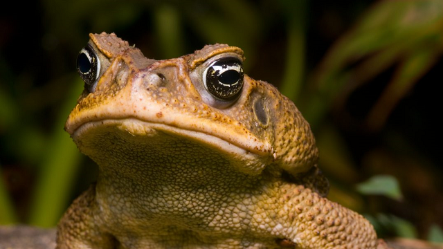 Cane toad behaviour