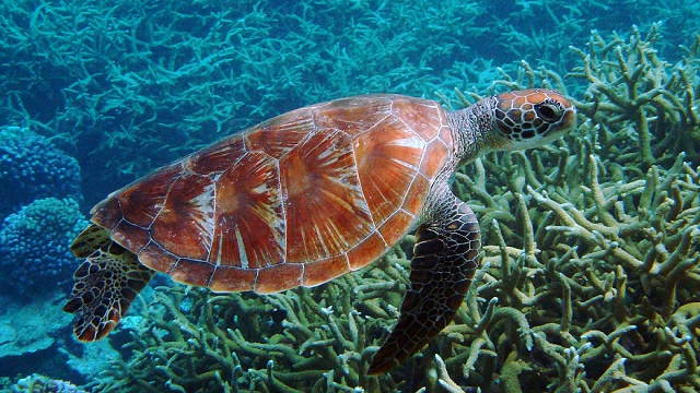 Warmer climates are turning green sea turtles female