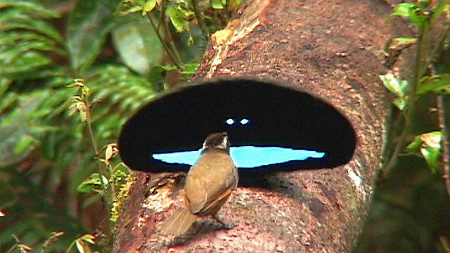 The blackest bird feathers rival Vantablack