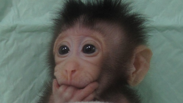 First cloned primates produced in China