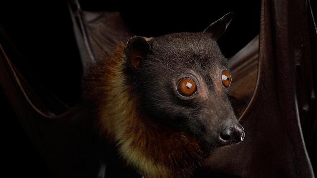 Bats' Evolutionary Trick