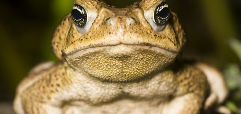 Cane Toads don't care about the climate