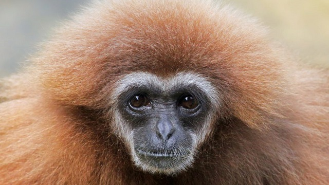 New gibbon species discovered in ancient Chinese tomb