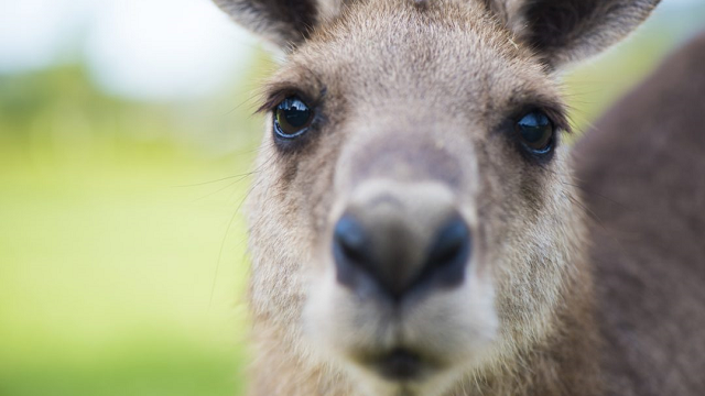Evolution discovery of Kangaroo changes previous theory