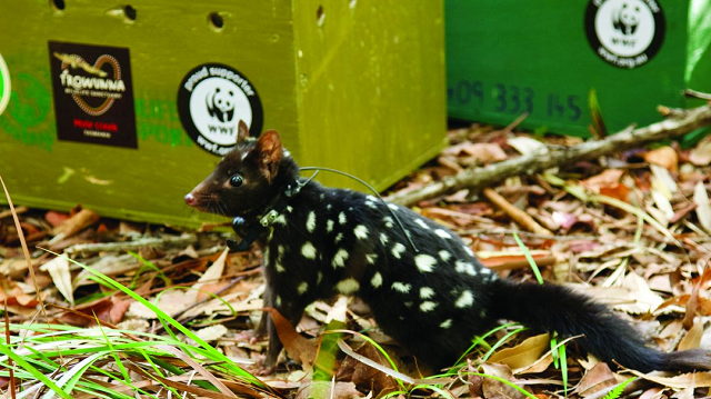 Eastern Quolls have a tough time on first release back on mainland