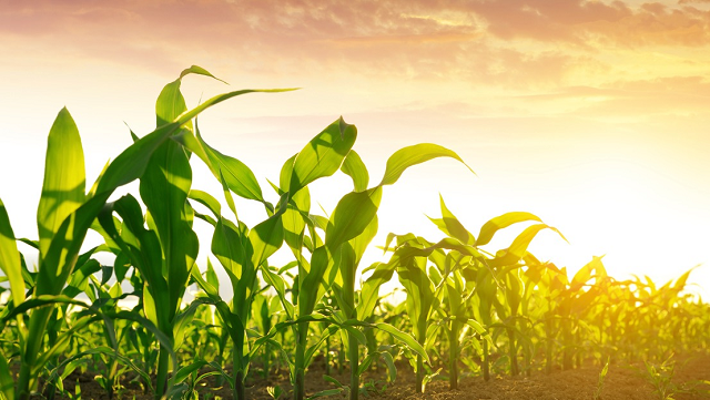Warming climate ups risk of global maize shortage