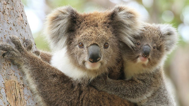 Genetic code helps explain the ways of koalas