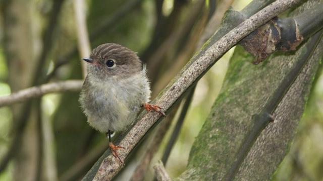 Island life makes birds smarter