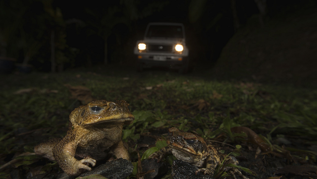 Cane toad genome offers hope for eventual control