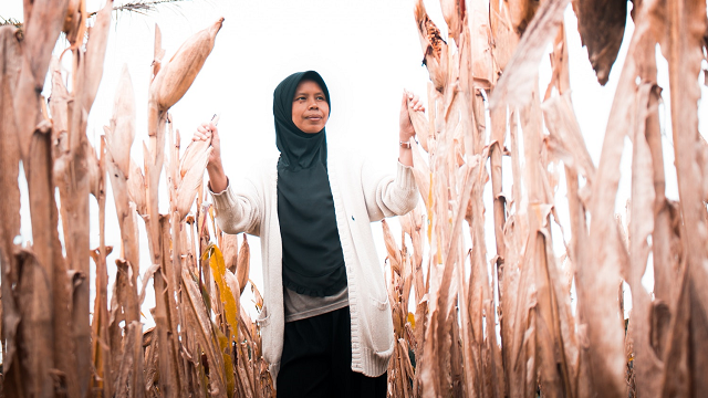 Gene-tinkering improves maize yield