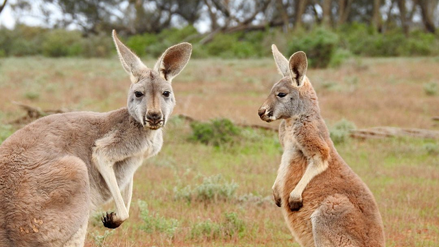 Climate change gave roos an evolutionary jump