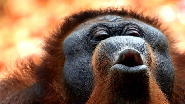 Doubts cast on Indonesian orangutan report