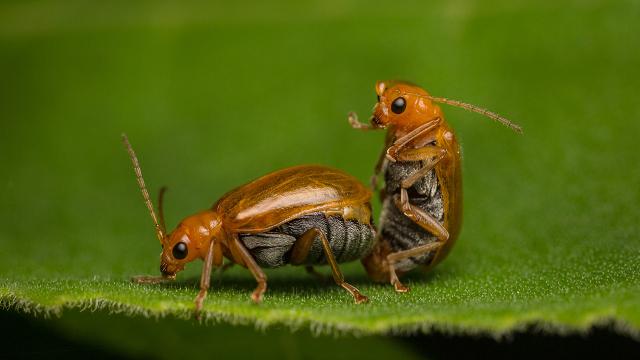 Heatwaves damage insect sperm, threatening biodiversity