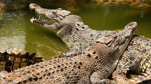 Looks can deceive: crocodiles have evolved more than we think