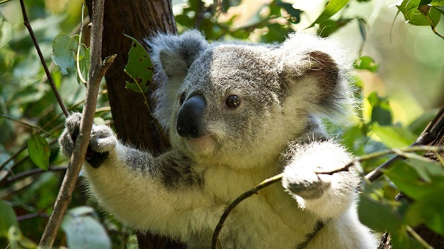 Koala-spotting drones a flying success