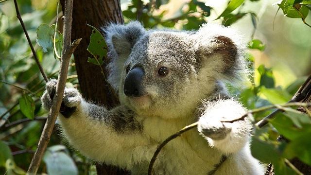 Koala-spotting drones a flying success