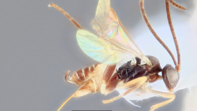 You named that new wasp species what?