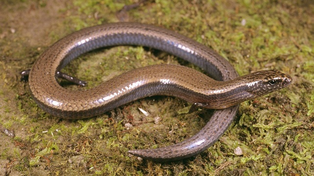 Three-toed skink amazingly produces both eggs and live young