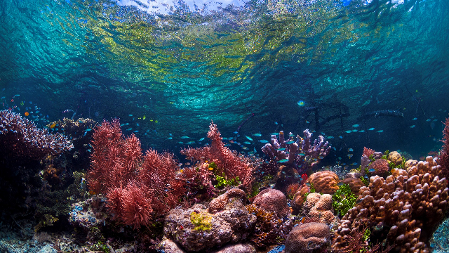 Corals can't adjust to acidic oceans