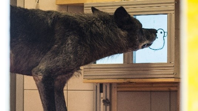 Wolves care about their mates. Dogs, not so much