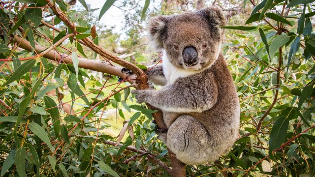 Koala populations hanging by a thread