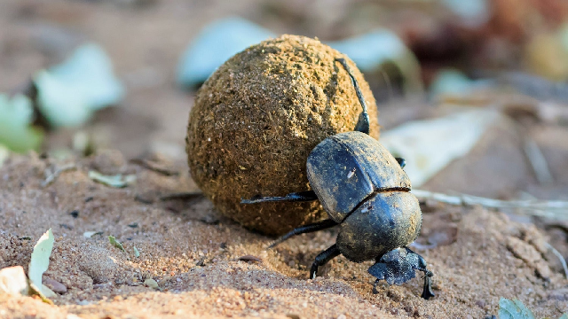 Dung beetles use sky and wind to find direction