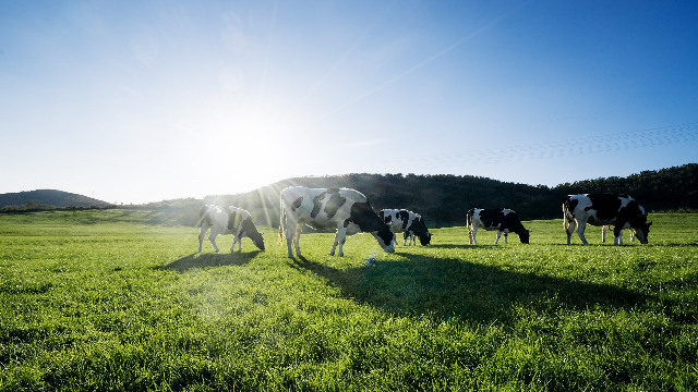 Seaweed cow chow prevents bovine burps