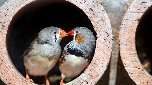 Songbirds show remarkable flexibility in learning tunes