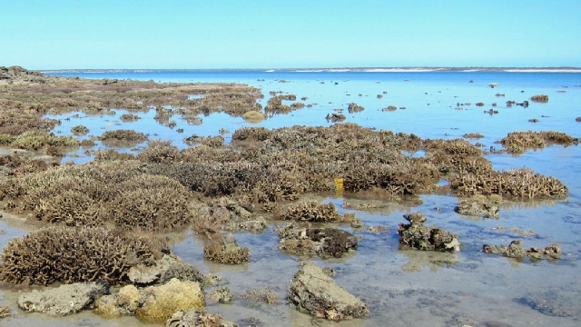 Heat-resistant coral could help rescue threatened reefs