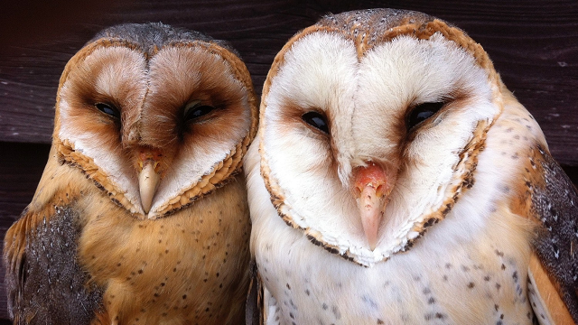 If you're a vole, beware white owls when it's full moon