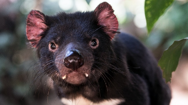 Tassie devils hold clue to how cancer conceals itself