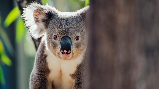 No, koalas aren't functionally extinct