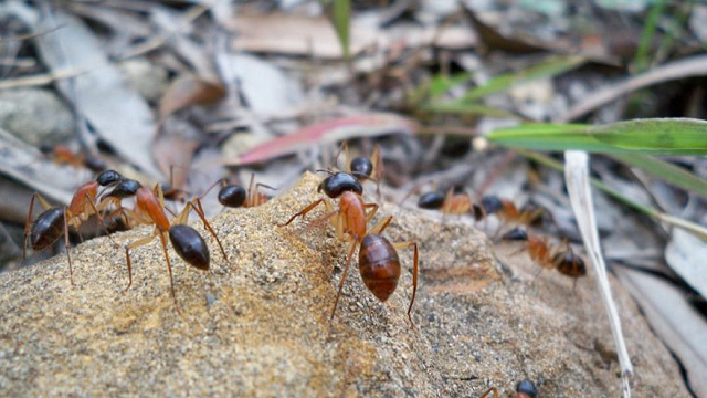 Sugar ants love pee, and it might reduce greenhouse gas emissions