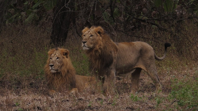 Whisker-printing to identify individual lions