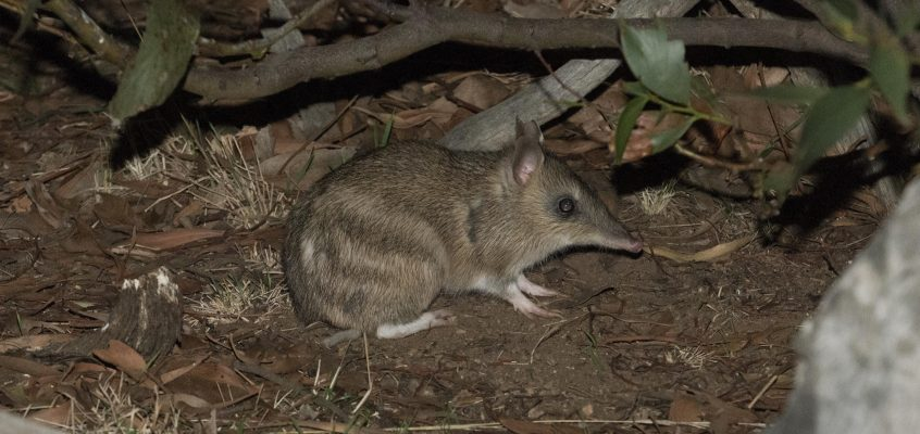 One little bandicoot can dig up an elephant's worth of soil a year – and our ecosystem loves it