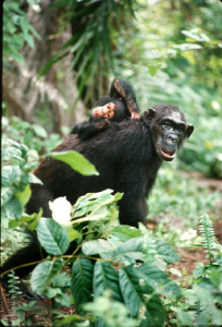 Chimpanzee Flo walks through the forest with infant Flint riding on her back