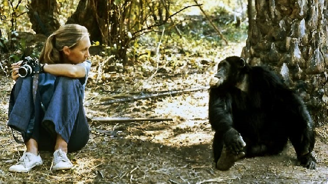 26 year old Jane Goodall sitting in Tanzania facing a chimpanzee