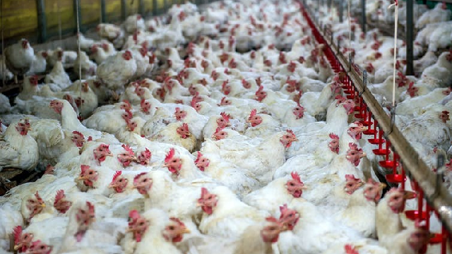 Battery hens crammed in a barn as global meat consumption comes with a range of animal welfare and environmental issues.