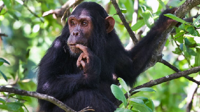A young chimpanzee Fifty, son of Fanni sitting in a tree in Gombe National Park.
