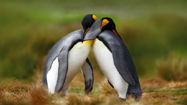 Penguins embracing each other.