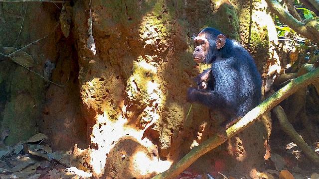 The evolution of chimp skills