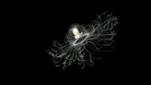 Jellyfish floating on black background