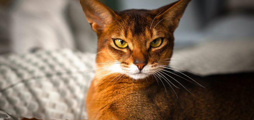 Can cat genes explain their nine lives?