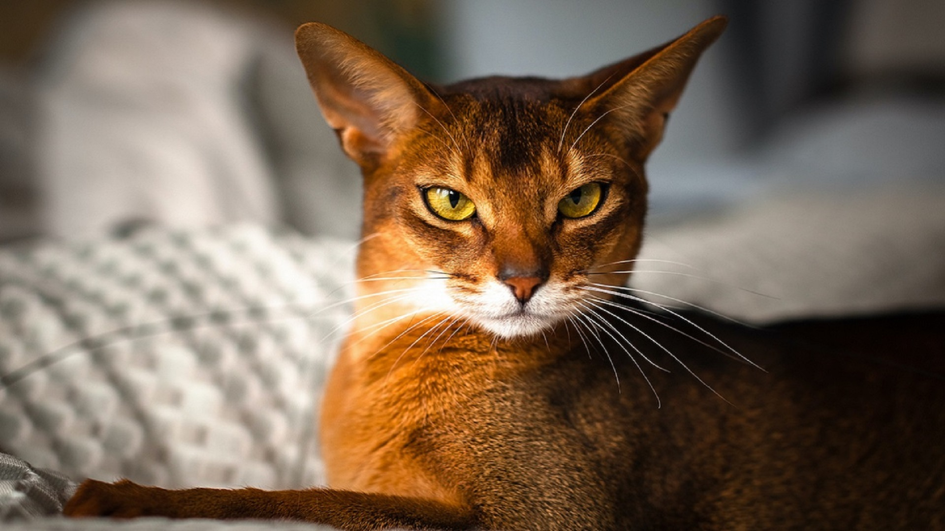 Abyssinian cat with reddish fur and yellow eyes
