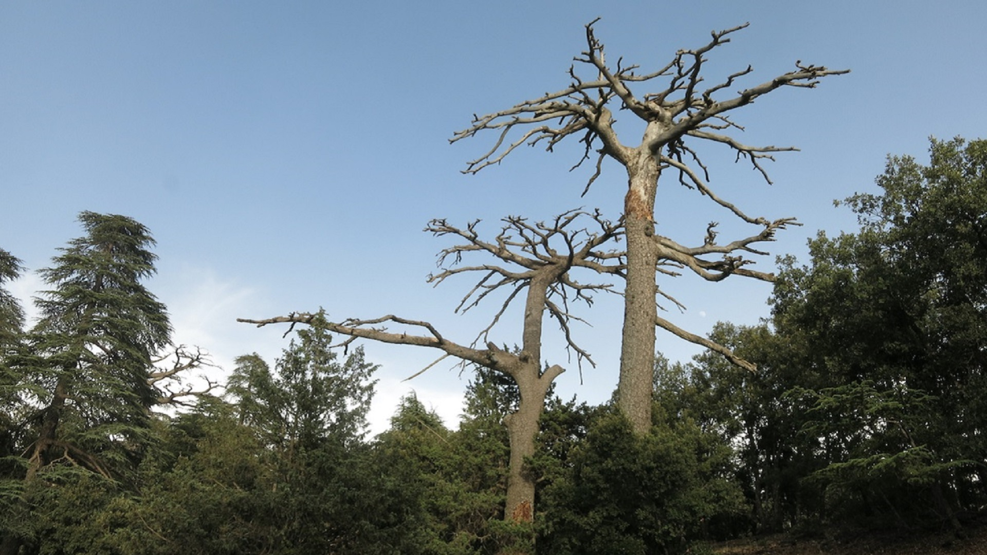 Two large trees in forest