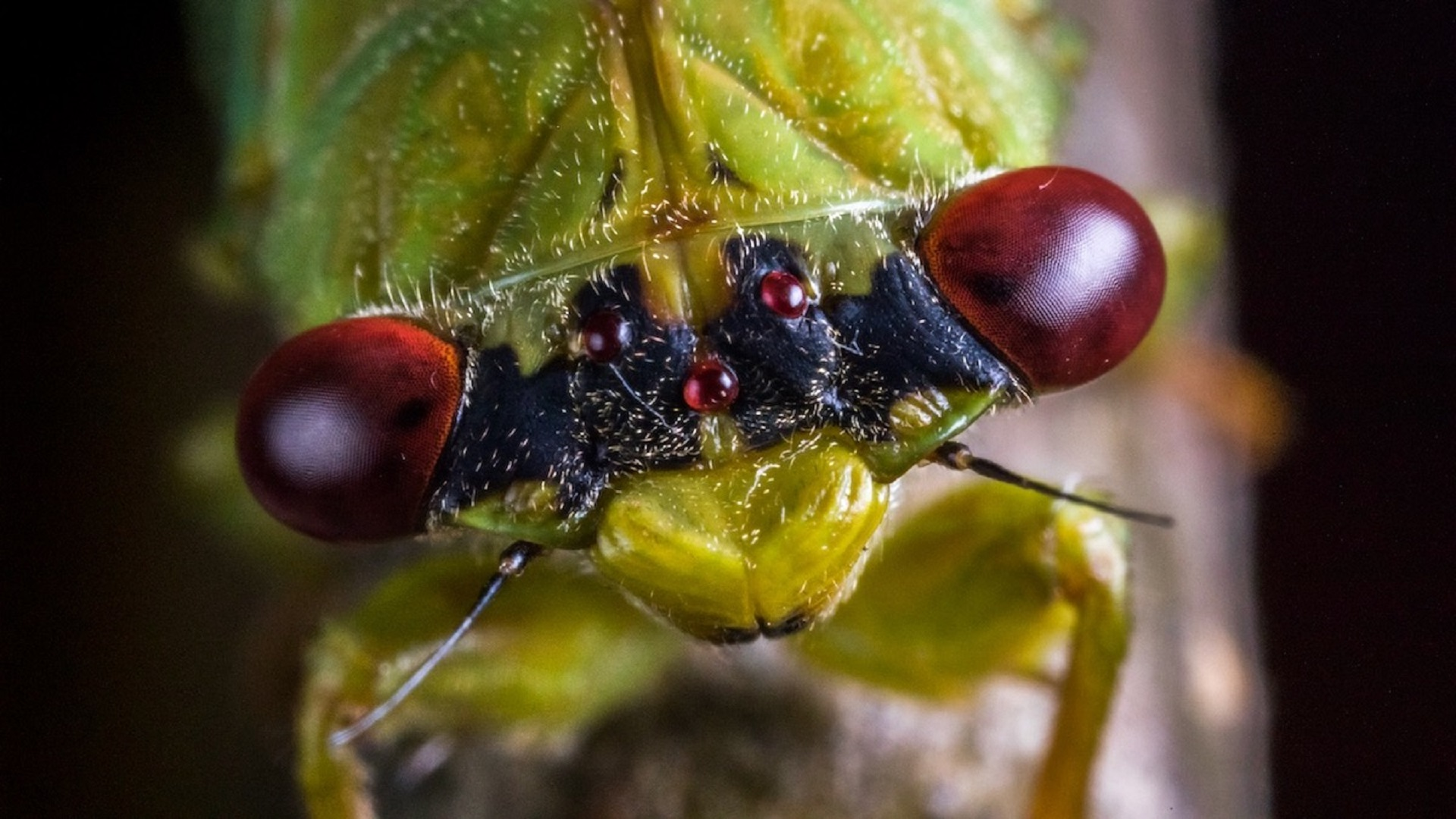 Close up of cicada eyes