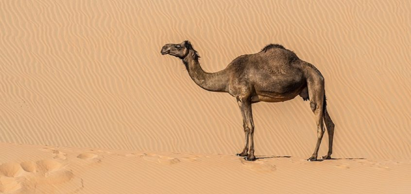 Keep cool like a camel