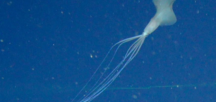 This super rare bigfin squid is a deep-sea mystery
