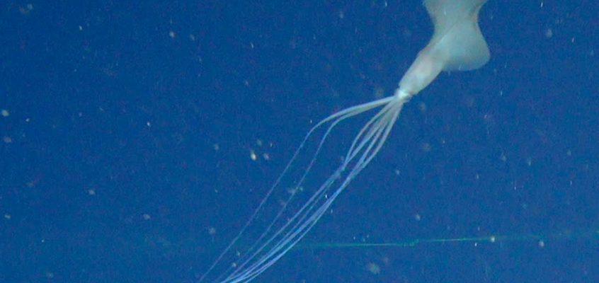 This super rare bigfin squid is a deep-sea mystery