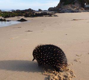 Echidna on beach